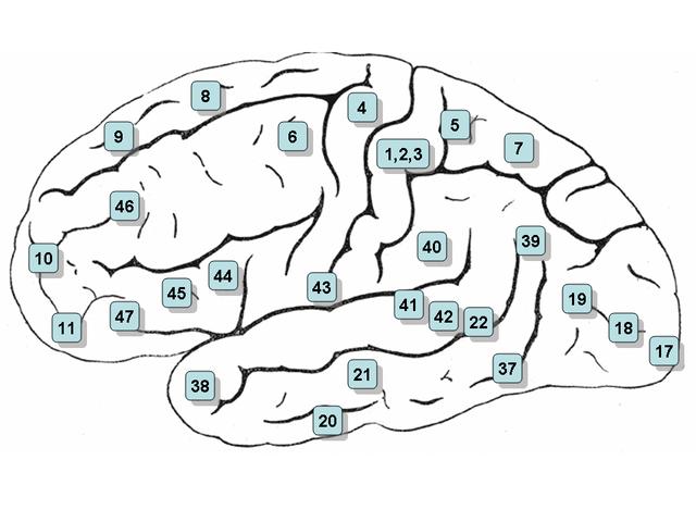 коры мозга с обозначением
